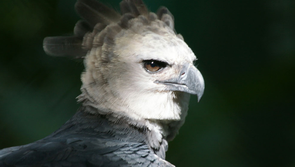 0Harpy-Eagle-Conjour-Conservation-Report-Bird-of-Prey-Feature-Image.jpg