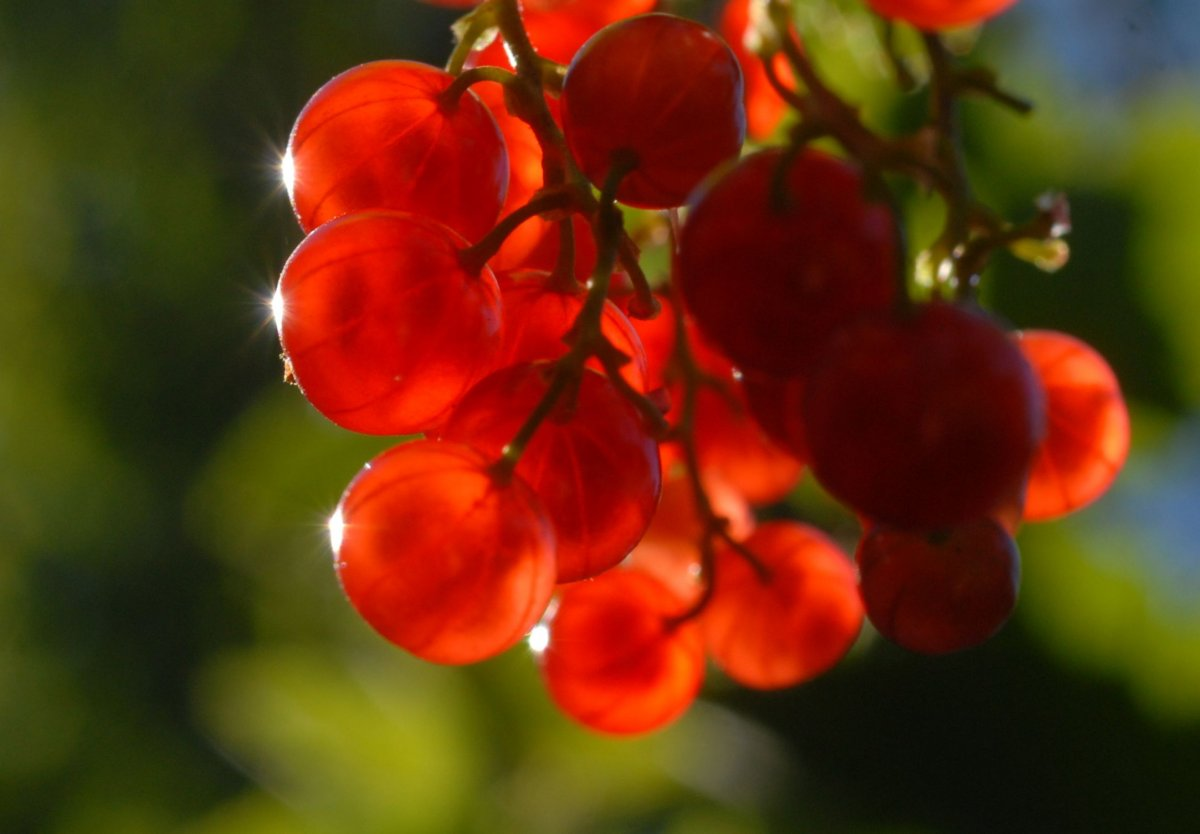 Currants in June 2015.jpg