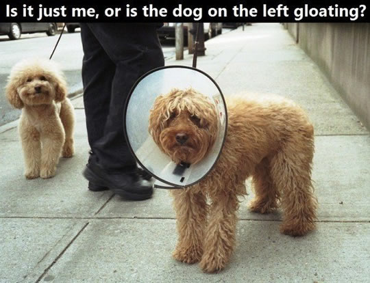 funny-dog-pictures-gloating-cone-of-shame.jpg