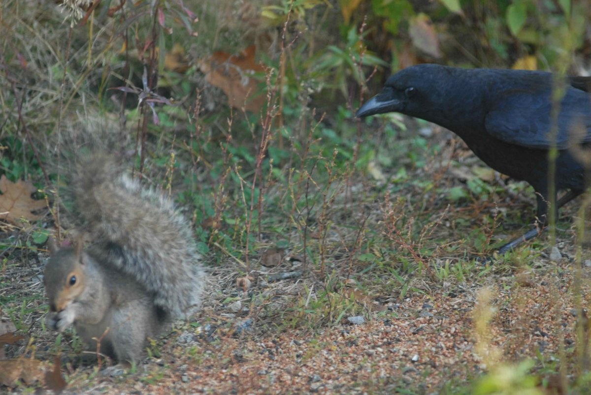 squirrel and the crow.jpg
